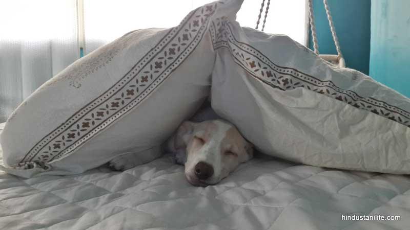 Zelda under pillows