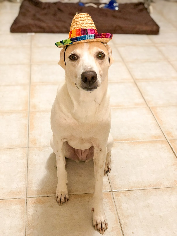 Zelda dog wearing mexican hat